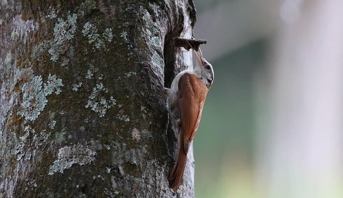 ağaçkakan