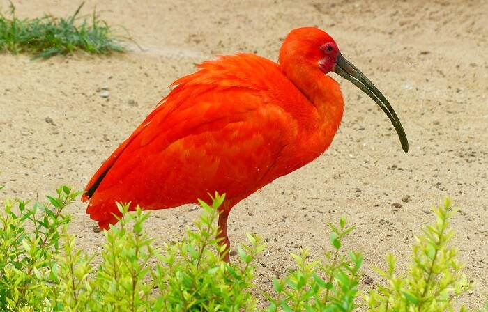 ibiş kuşu
