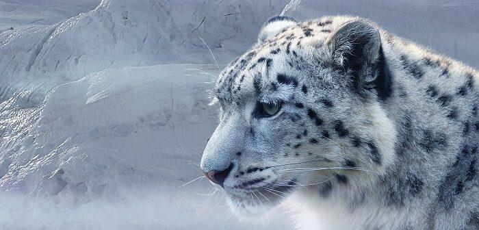 kar leopari