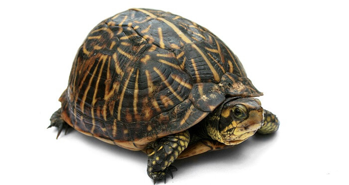 kutu kaplumbağa