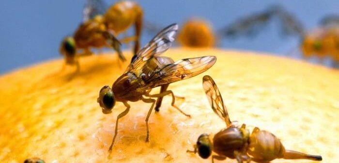 meyve sineği