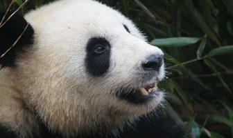 Pandalar Hakkında İlginç Bilgiler