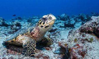 Şahin gagalı kaplumbağa