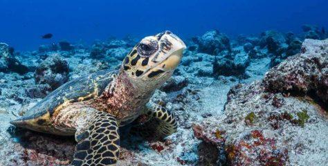 Şahin Gagalı Kaplumbağa Nasıl Bir Hayvandır? Özellikleri Hakkında Bilgi