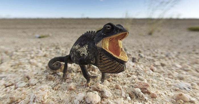 Namaqua Bukalemunu