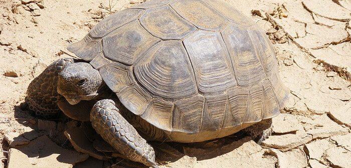 çöl kaplumbağası
