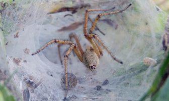 huni ağ örümceği