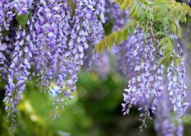 Morsalkım Çiçeği (Wisteria) Dikimi Bakımı Özellikleri Hakkında Bilgi