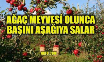 Ağaç Meyvesi Olunca Başını Aşağıya Salar