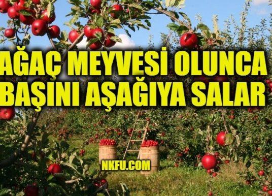 Ağaç Meyvesi Olunca Başını Aşağıya Salar Atasözünün Anlamı ve Açıklaması