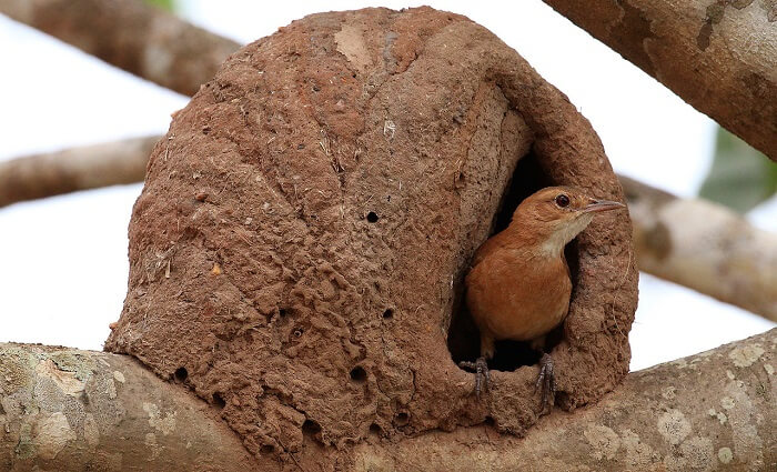çömlekçi kuşu