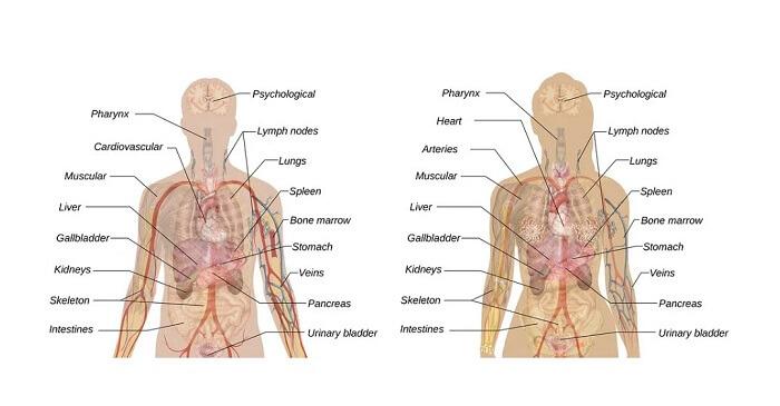 ingilizce organlar