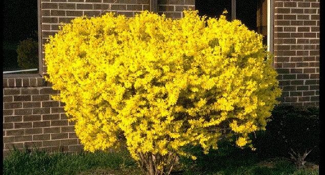altın çanak çiçeği