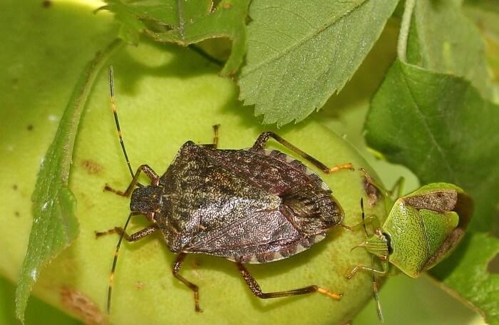 kokarca böceği