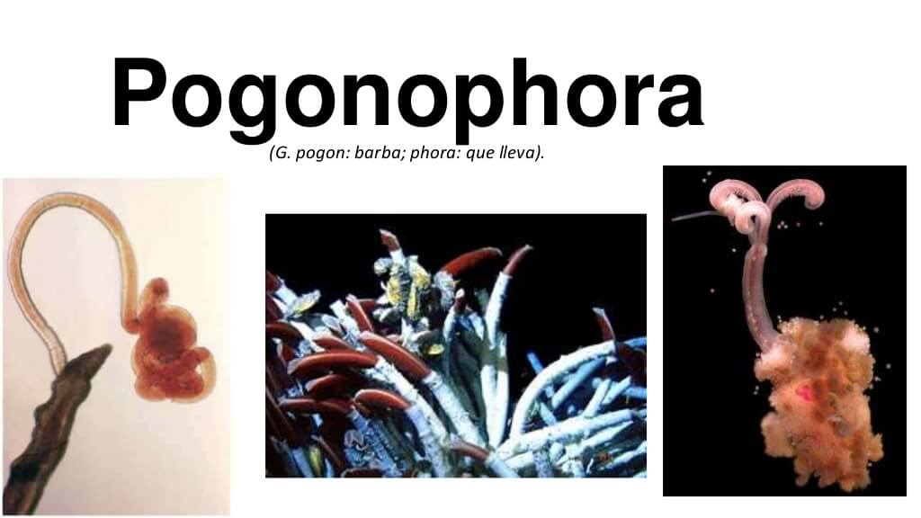 Sakallı Solucanlar (Pogonophora)