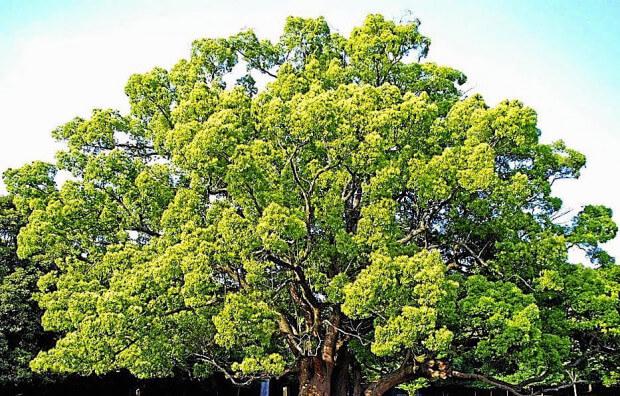 kafur ağacı