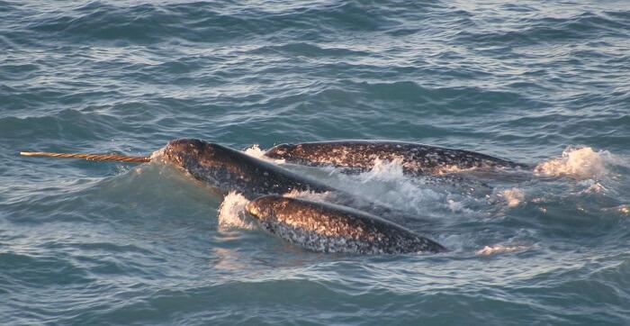 narval deniz gergedanı