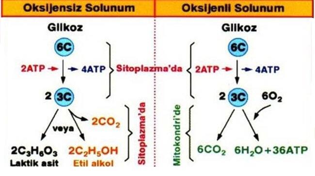 Oksijenli ve Oksijensiz Solunum