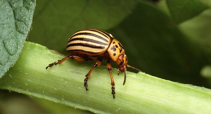 patates böceği