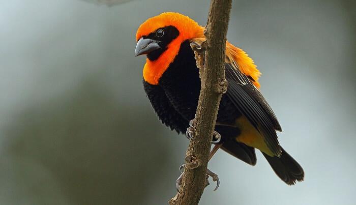 piskopos kuşu