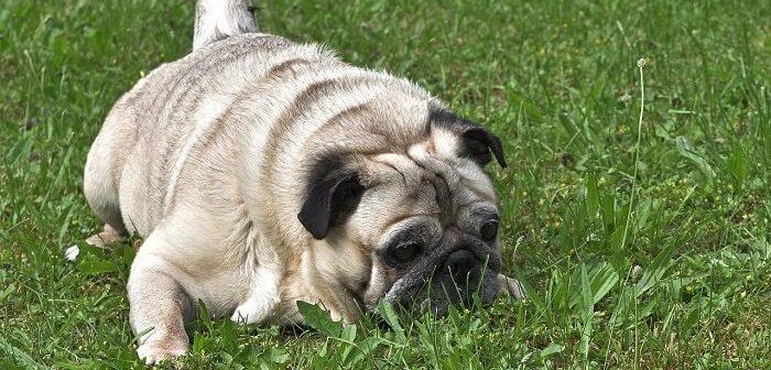 pug köpeği