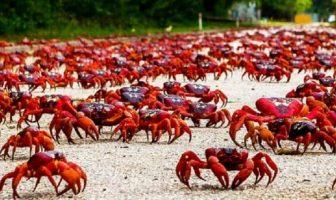Christmas Adası Kırmızı Yengeci