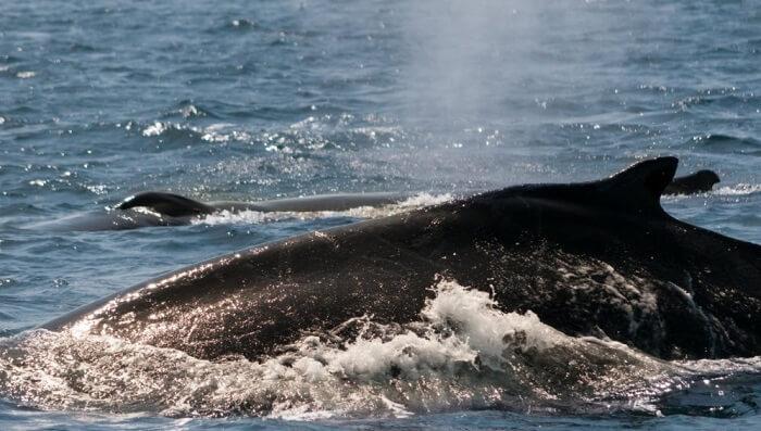gagali balina