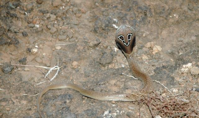 gözlüklü yılan