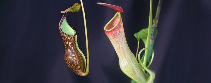 ibrikli böcekçil bitki