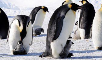 imparator penguenler