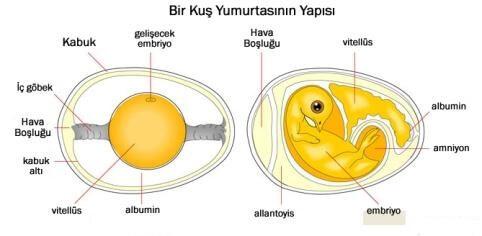 kuş yumurtasının yapısı