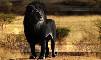 hayvanlarda melanizm