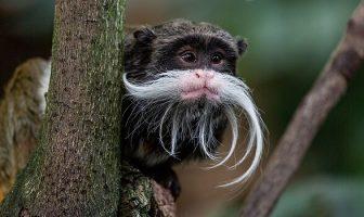 İmparator Tamarin Maymunu