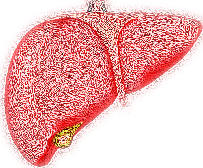 karaciğer