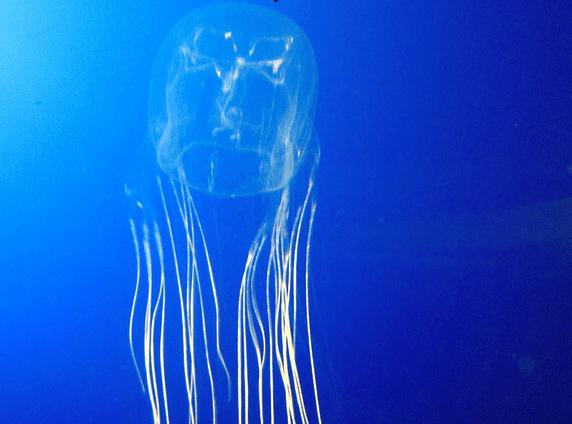 kutu denizanasi