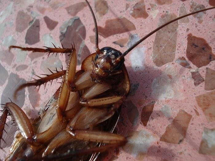 ölü hamam böceği