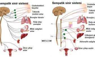 Parasempatik ve Sempatik Sinir Sistemi
