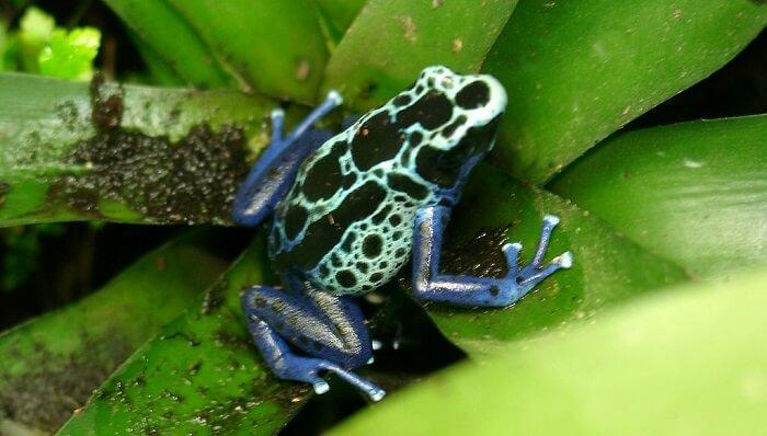 zehirli ok kurbağası