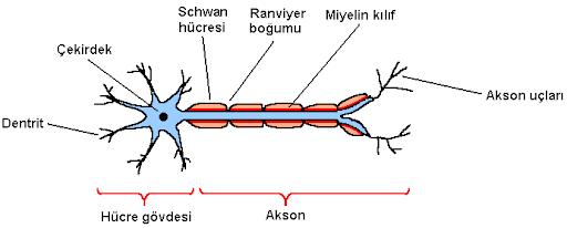 Schwann Hücreleri