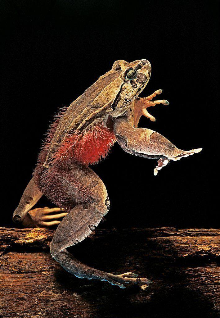 Trichobatrachus robustus - Tüylü Kurbağa