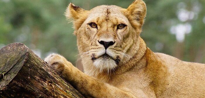 dişi aslan