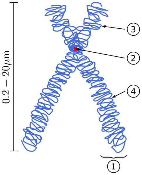 Doğrusal DNA