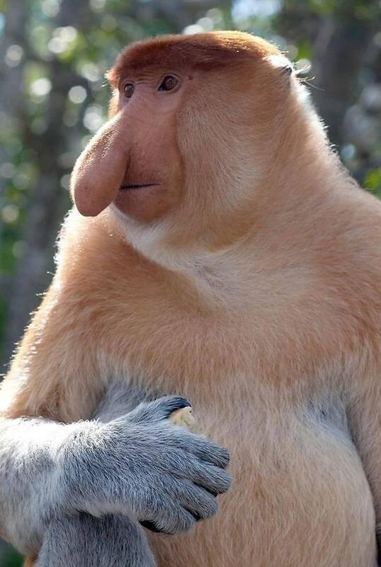 hortum maymunu