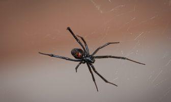 Siyah Örümcek