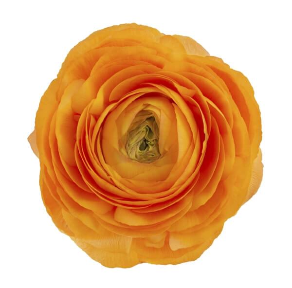 altın oran çiçek yaprakları