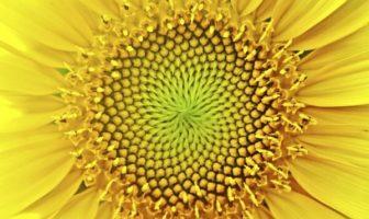 altın oran tohum