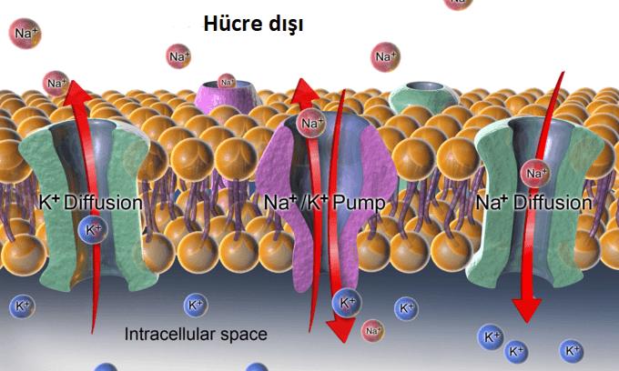 Hücre Dışı Sıvı