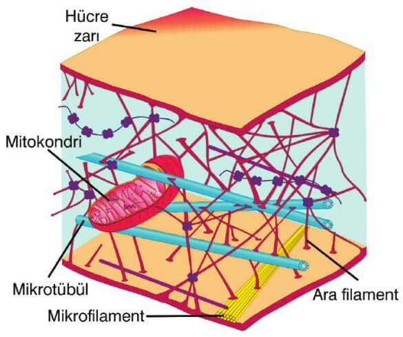 hücre iskeleti