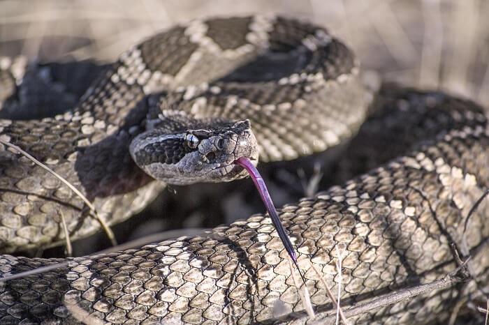 kahverengi yılan