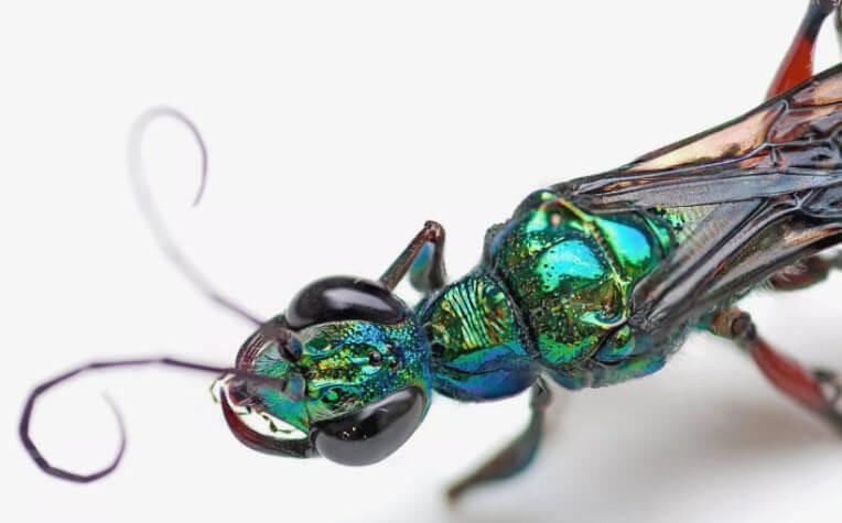 zümrüt hamamböceği